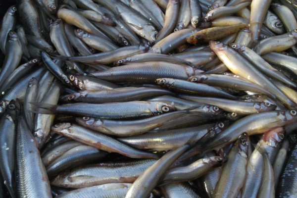 В Ленобласти хотят построить рыбный завод за 100 млн рублей — Агентство Бизнес Новостей — Ремонт дома